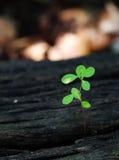 Grön växt som växer upp Royaltyfri Fotografi