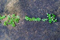 Grön växt som växer ut ur golvbetong med sprucket abstrakt begrepp Arkivbild