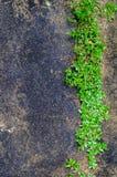Grön växt som växer ut ur golvbetong med sprucket abstrakt begrepp Royaltyfria Bilder