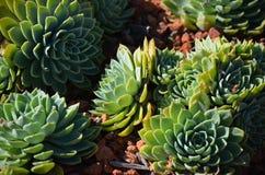 grön växtsuckulent Arkivbilder