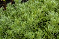 grön växtsuckulent Arkivfoto