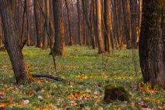 Grön vårskog i solstrålar Royaltyfri Fotografi