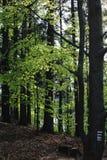 Grön vårskog i solstrålar Arkivbild