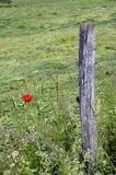 grön vallmored för fält Royaltyfri Foto