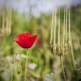 grön vallmostående för fält Royaltyfri Foto