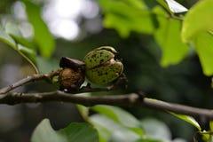 Grön valnöt på trädet royaltyfri foto