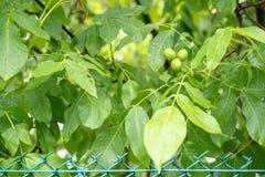 Grön valnöt som växer på ett träd, mognad royaltyfri bild