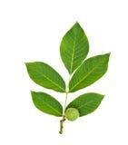Grön valnötfrukt med bladet Royaltyfri Bild