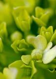 grön vanlig hortensia Fotografering för Bildbyråer
