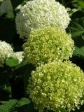 grön vanlig hortensia Arkivfoton