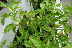 Grön varm chili eller chilipeppar arkivfoto
