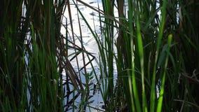 Grön vass för närbild som svänger i vinden, sjö på bakgrund stock video