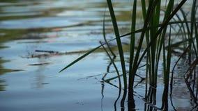 Grön vass för närbild som svänger i vinden, sjö på bakgrund arkivfilmer