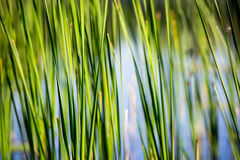 Grön vass på floden arkivfoton