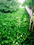 Grön vattenhyacint Arkivfoto
