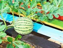 grön vattenmelon Arkivfoto