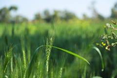 Grön vetelantgård Indien arkivfoto