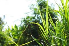 Grön vetelantgård Indien royaltyfria bilder