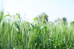 Grön vetelantgård Indien fotografering för bildbyråer