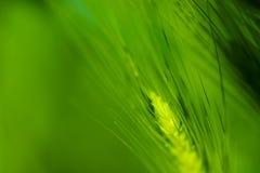 Grön vetelantgård Indien royaltyfri fotografi
