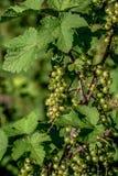Grön vinbär i en trädgård arkivbild