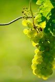 Grön vindruva i vingård royaltyfria foton