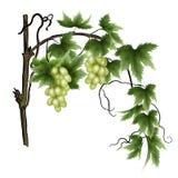 grön vine för druva Arkivfoton