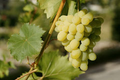 grön vine för druvor Arkivfoto