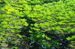 grön vinesvägg Arkivbilder