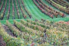 grön vingård Arkivbild