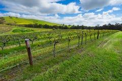 grön vingård Arkivbilder