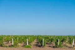 Grön vingårdbygd Royaltyfri Fotografi