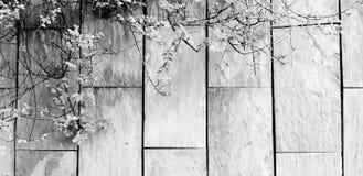 Grön vinranka, murgröna eller krypa växttillväxt på den grova gråa väggbakgrunden med kopieringsutrymme i svartvit stil arkivbild