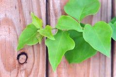 Grön vinranka på landsstaketet Arkivfoton