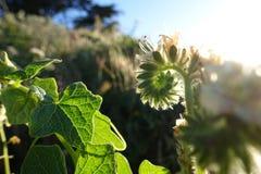 Grön vinrankavit blomstrar 00361 arkivbilder