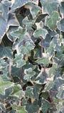Grön vit för murgröna Royaltyfri Fotografi