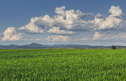 Grön wheatfield Royaltyfri Fotografi