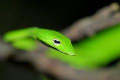 grön whipsnake Arkivfoton