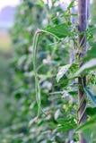 Grön yardlongböna på spaljé arkivfoto