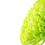 grön yellow för chrysanthemum Royaltyfri Fotografi