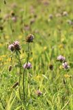 Gröna ängbreddväxter Strålarna av solen ljusnar ängen arkivfoton