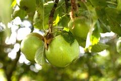 Gröna äpplen i ett träd Royaltyfri Bild