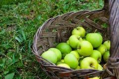 Gröna äpplen i korg på gräs Royaltyfri Fotografi