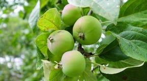 Gröna äpplen på den omogna filialen Royaltyfri Bild