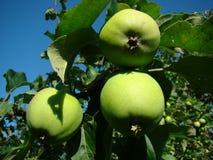 Gröna äpplen på en förgrena sig Arkivbilder