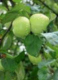 Gröna äpplen på en filial Royaltyfri Bild