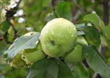 Gröna äpplen på en filial Fotografering för Bildbyråer