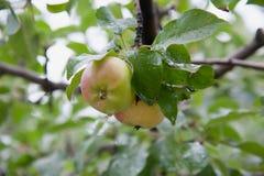 Gröna äpplen på en filial Arkivfoton