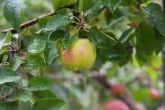 Gröna äpplen på en filial Royaltyfri Foto