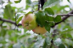 Gröna äpplen på en filial Royaltyfri Fotografi